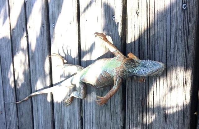 frozen-iguana